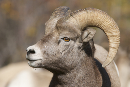 Male Big Horn Sheep portrait showing the profile of face and one horn, ear and eye