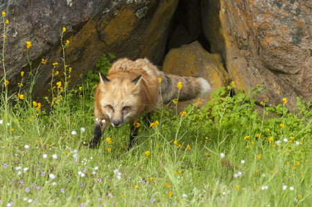 Red fox hunting in green grass and  yellow flowers with rock den Stok Fotoğraf