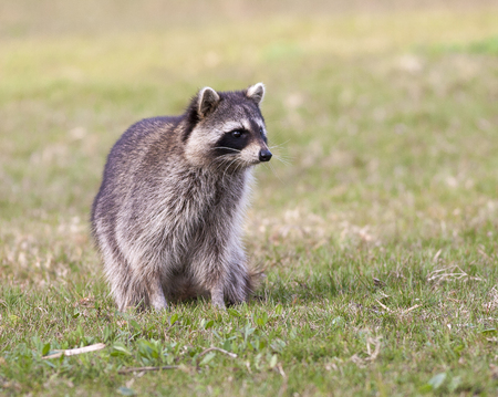 Raccoon standing on green grass in middle of field in county park Stock Photo