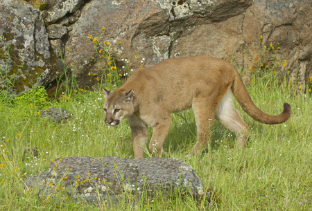 Mountain Lion on green grass with rocks in background during spring time