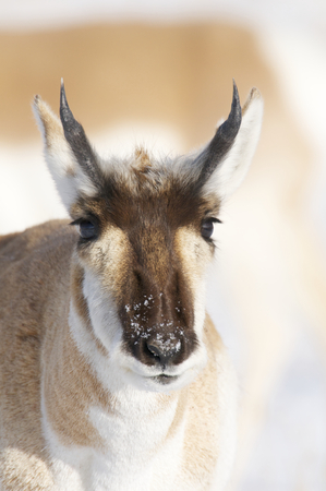 Male Pronghorn portrait with snow background