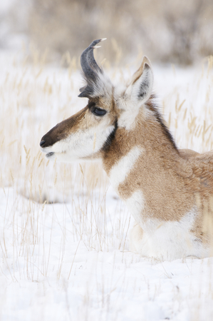 Male Pronghorn portrait with snow background on winter day