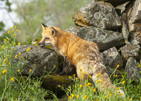 Red fox hunting in green grass and  yellow flowers with rocks Stok Fotoğraf