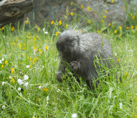 Porcupine eating in tall grass and yellow flowers stock photo 78570036 porcupine eating in tall grass and yellow flowers mightylinksfo