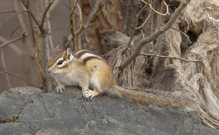 Siberian chipmunk on log in the forest