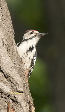 White-backed Woodpecker on tree bark with green leaf background