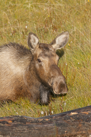 American Moose in green grass