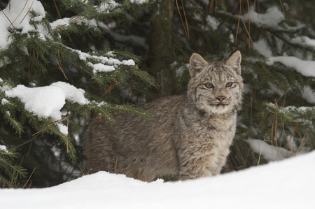 Lynx in deep snow during winter time