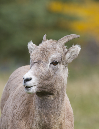 Bighorn Sheep portrait with trees and grass background