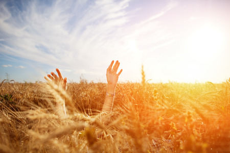 Girls hands above wheat field at sunset (intentional sun glare and lens flares, lens focus on right hand)