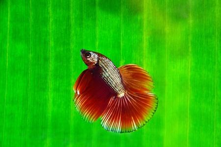 crowd tail: Betta fish   Banana leaf Stock Photo