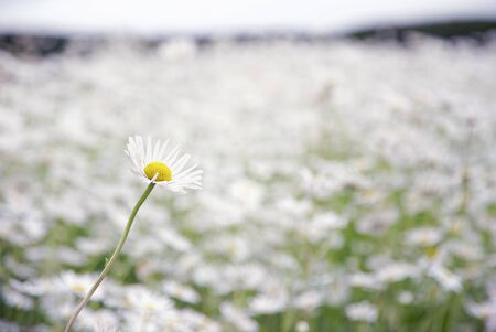 Selected Focus and Color One White Daisy Flower in Flower Garden 版權商用圖片 - 131956543