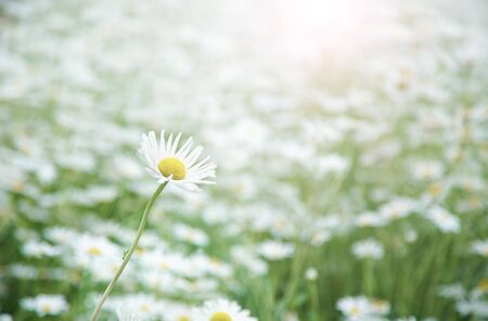 Selected Focus One White Daisy Flower in Flower Meadow with Effect Flare Light