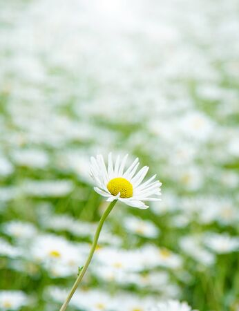 daisy, background, beautiful, bloom, blooming, blossom, blow, bright, camomile, chamomile, closeup, daisies, day, effect, field, flare, flora, floral, flower, focus, fresh, garden, grass, green, landscape, light, macro, meadow, natural, nature, one, outdoor, park, petal, plant, relax, scene, season, spring, summer, white, yellow