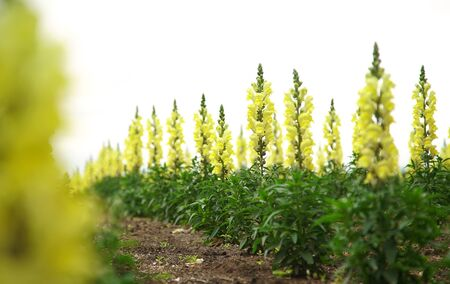 Perspective Line of Yellow Antirrhinum or Snapgradon Flowers in Field