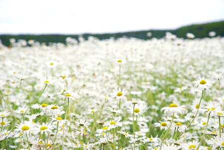 Meadow White Daisy Flower Covered on Hill 版權商用圖片