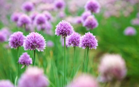 Blooming Chives Flower in Garden 版權商用圖片 - 131957336