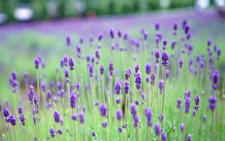 Close Up Bud Lavender Purple Flower