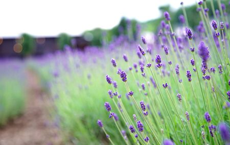 Perspective Line, Selected Focus Foreground Lavender Flower in Garden 版權商用圖片 - 131957608