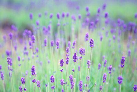 Grown up Purple Lavender Flower Garden 版權商用圖片