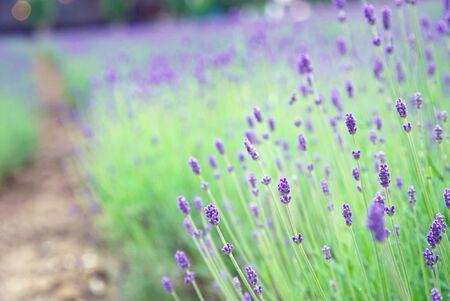 Bud Purple Lavender Flower Garden at Hokkaido Japan