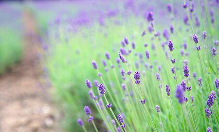 Bud Purple Lavender Flower Garden at Hokkaido Japan 版權商用圖片 - 131957478