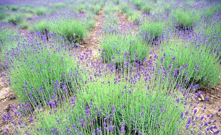 Land of Lavender Flower Garden 版權商用圖片