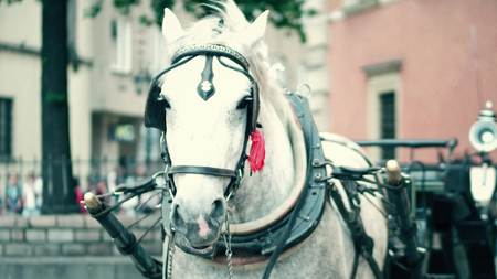 shallow dof: Harnessed dapple gray horse on the street Stock Photo