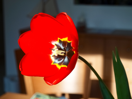 Red tulip with yellow lining and black photo