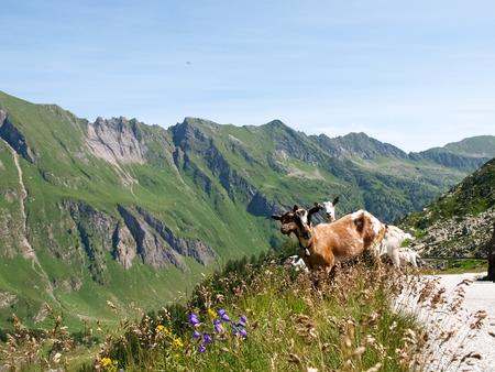 mountain goats: Vallemaggia, Ticino, Svizzera: capre di montagna libero