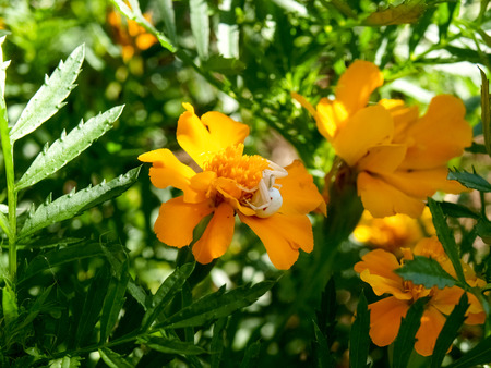 vatia: Pianello del Lario, Como - Italy: Spider Misumena vatia waits for prey on flower Tagetes