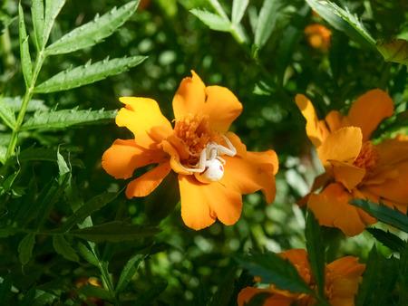 """vatia: Pianello del Lario, Como - Italia: Spider """"Misumena vatia"""" aspetta la preda sul fiore Tagetes Archivio Fotografico"""