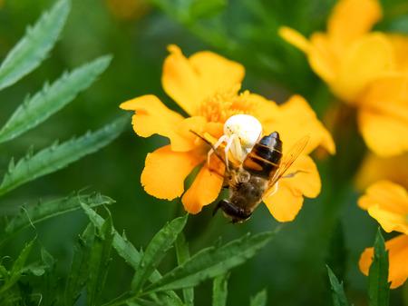"""vatia: Pianello del Lario, Como - Italia: Spider """"Misumena vatia"""" prendere un ape sul fiore Tagetes"""