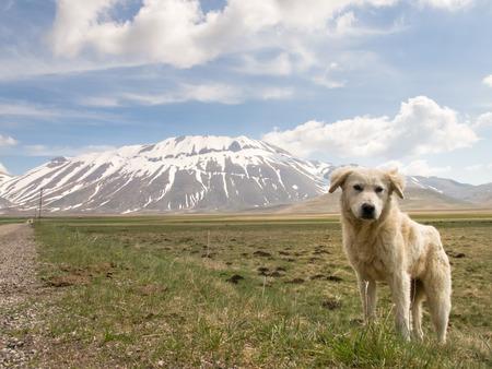 sibillini: Italy, Castelluccio di Norcia: big plan of Monti Sibillini. Puppy shepherd dog
