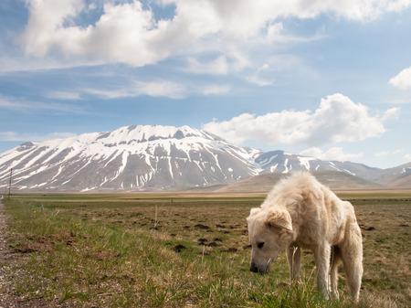 castelluccio di norcia: Italy, Castelluccio di Norcia: big plan of Monti Sibillini. Puppy shepherd dog