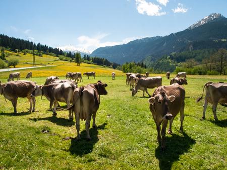 ticinese: Lukmanierpass Walley, Switzerland: Cows grazing next to the farm.