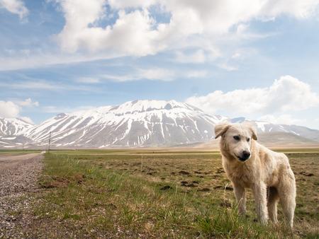 norcia: Italy, Castelluccio di Norcia: big plan of Monti Sibillini. Puppy shepherd dog