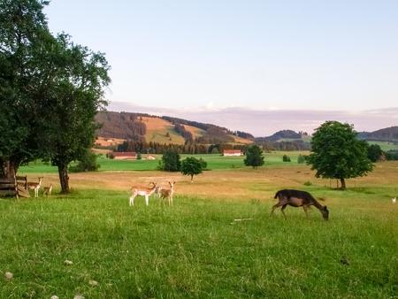 allgau: fawns in breeding in Allgau