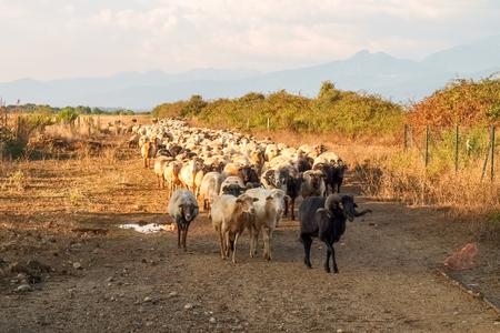 corse: Ghisonaccia, Corse France : Sheeps on the farm.