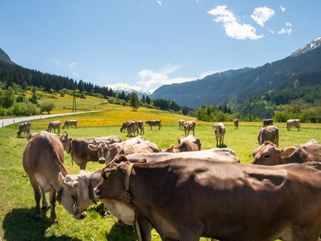 Lukmanierpass Walley, Switzerland: Cows grazing next to the farm.