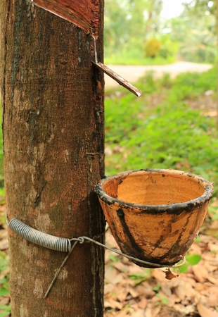 peasantry: The Rubber Tree in south of Thailand Stock Photo