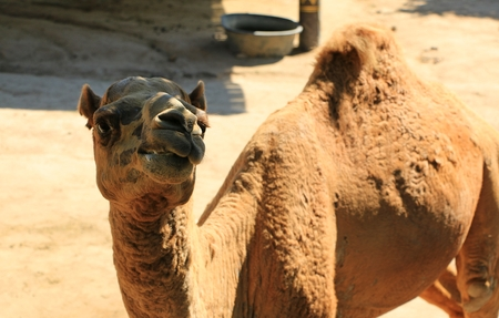 ruminant: The Camel in Thailand Farm in Vacation trip