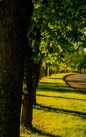 Chestnut trees by the street, green alley with medium size trees casting shadows, golden hour by the park, empty street 版權商用圖片