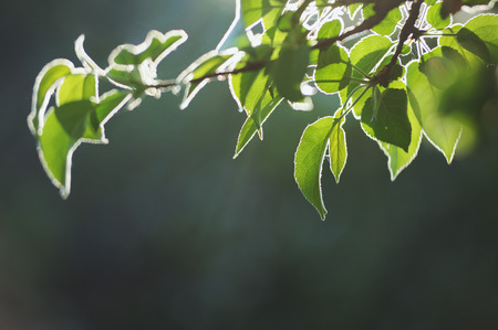Green young leaves tree branch in bright backlighting photo