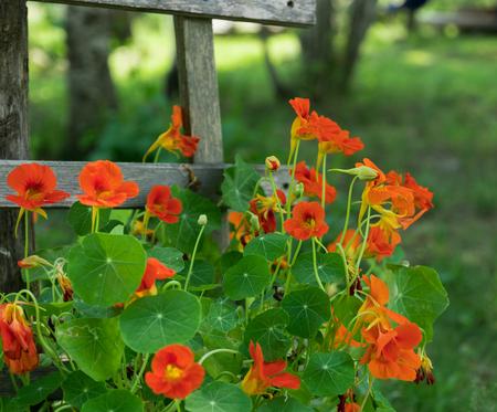Bright Orange Nasturtiums Climbing Wooden Rail Fence