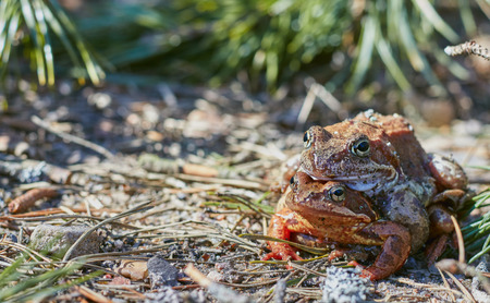Mating frogs in the forest in clear weather in April.