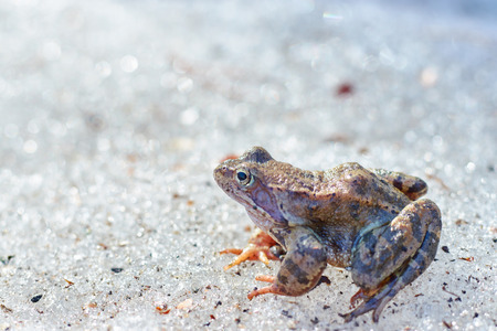 A close up of a frog on the ice. Early spring. abnormal phenomena