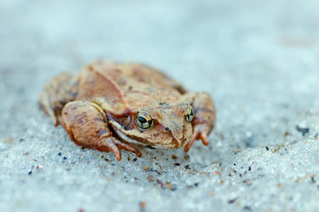 A close up of a frog on the ice. Early spring. abnormal phenomena in nature.