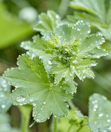 morning dew drops on green geranium leaf Stock Photo
