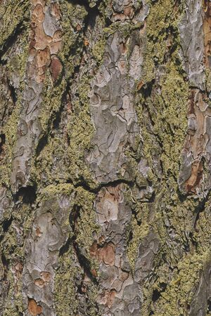 The texture of the bark of an old tree with green moss. vertical view. background from tree bark Stock fotó